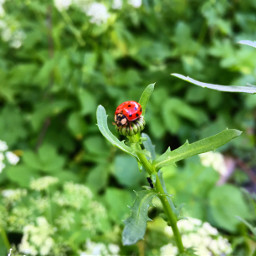 ladybug closeup nature bug