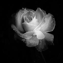 blackandwhite rose whiterose flower photography freetoedit