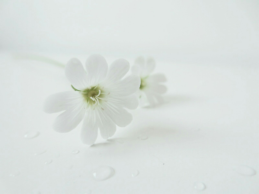 #minimal  #photography  #whiteonwhite  #flowers  #waterdrops  #cute  #tiny  #close-up  Wow another PicsArt Pick! Thank you  @pa
