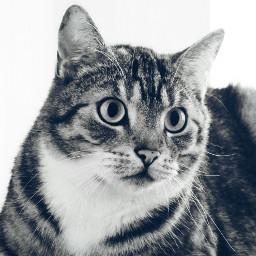 blackandwhite cat mypet petsandanimals