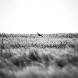 swallows blackandwhite field corn freetoedit