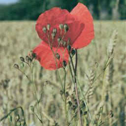 poppyflower photography colour macro summer