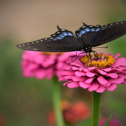 butterfly flower nature freetoedit photography