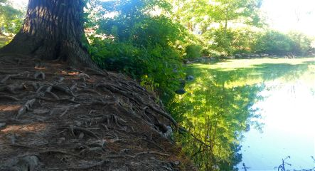 tree roots pond nature
