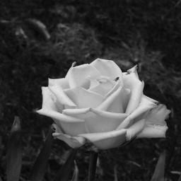 blackandwhitenature nettesdailyinspiration photography flower rose