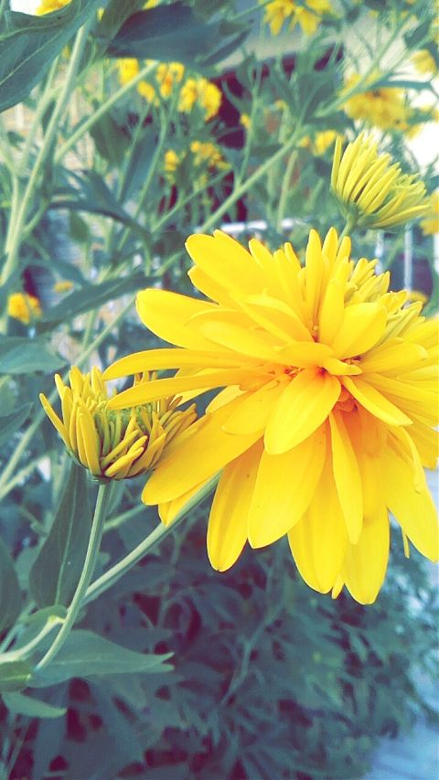 #flowers,#love,#yellow
